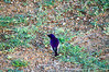 Violet-backed starling or Plum-coloured starling (Cinnyricinclus leucogaster) - Male