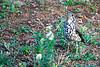 Groundscraper thrush (Psophocichla litsitsirupa)