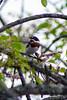 Chinspot batis (Batis molitor) - Female