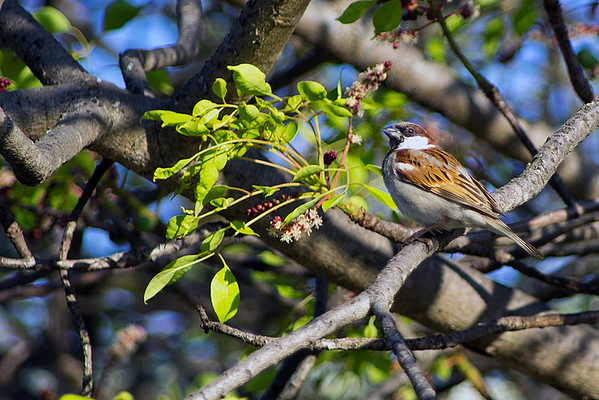 Family: Passeridae (sparrows, petronias)
