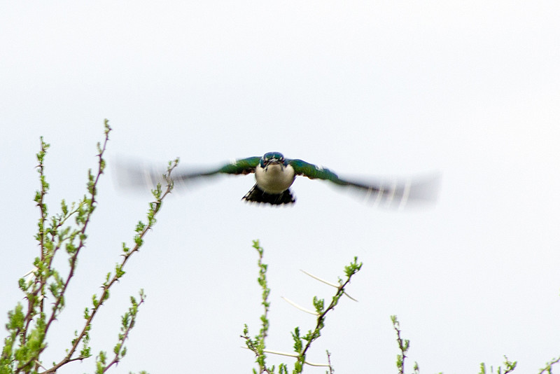 Diderick cuckoo (Chrysococcyx caprius)