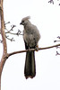 Grey go-away-bird or Grey Loerie (Corythaixoides concolor)