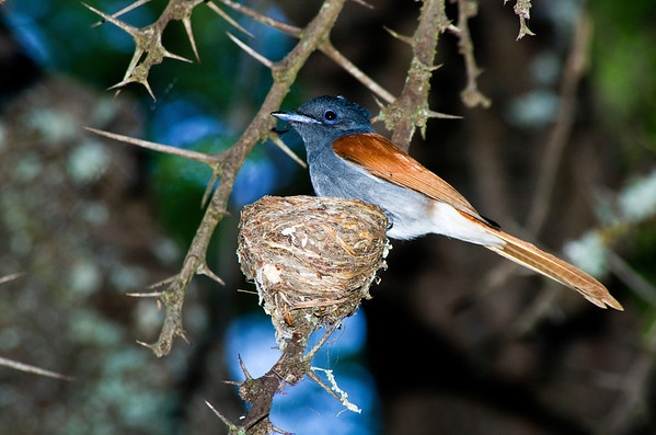 Family: Monarchidae (crested-flycatchers, paradise-flycatchers)