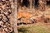 Bushbuck in the Garden