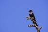 Dicrurus adsimilis (Fork-tailed drongo)
