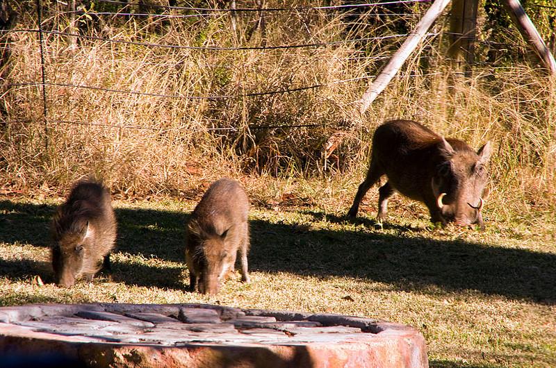 Anastasia's Warthogs in the Garden
