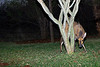 The Buck and the Acacia Tree