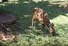 Baby Bushbuck