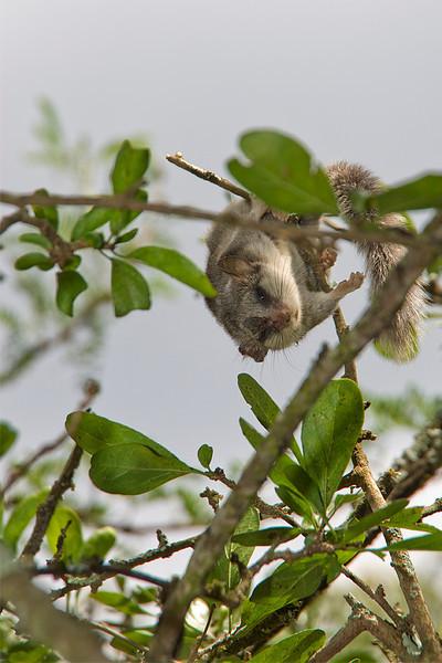 Bushy-tailed Doremouse