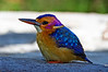 Pigmy Kingfisher
