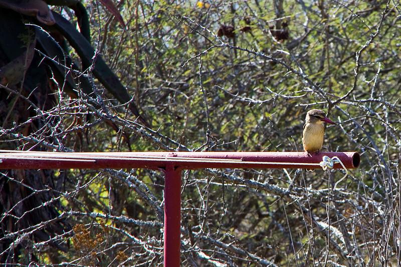Kingfisher in the Garden