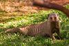 Mongooses Visit