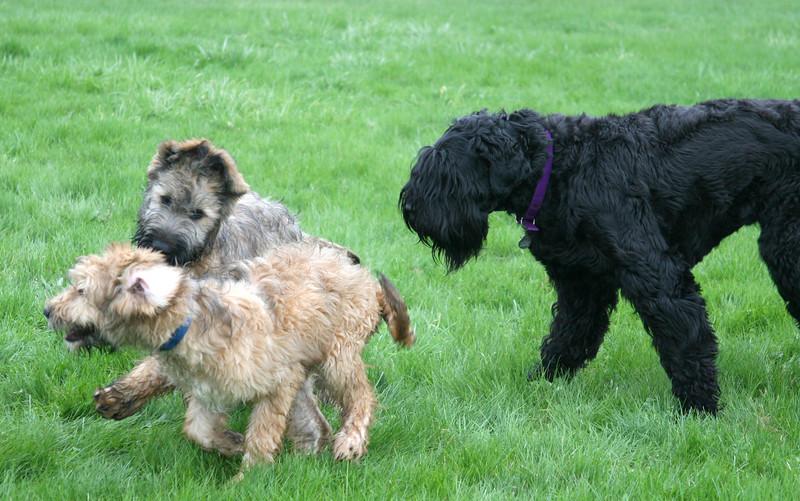 Tasha herds the puppies