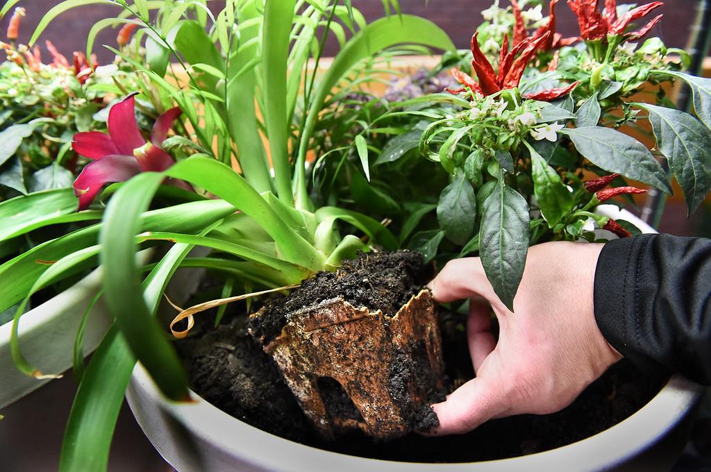 . Mishek shows the breakdown of a SelfEco garden pot at the four-week point. (Pioneer Press: Jean Pieri)