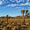 Forest A Thousand Years Wide | Joshua Tree National Park
