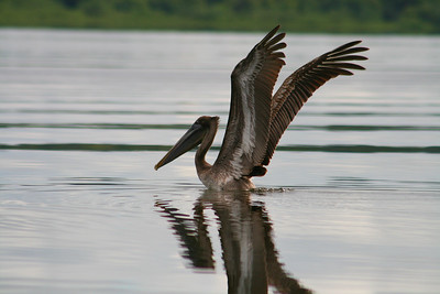 Lake View with Brown Pelican