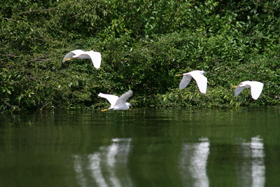 Snowy Egrets Flying over River