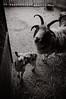 Like ram, like lamb.