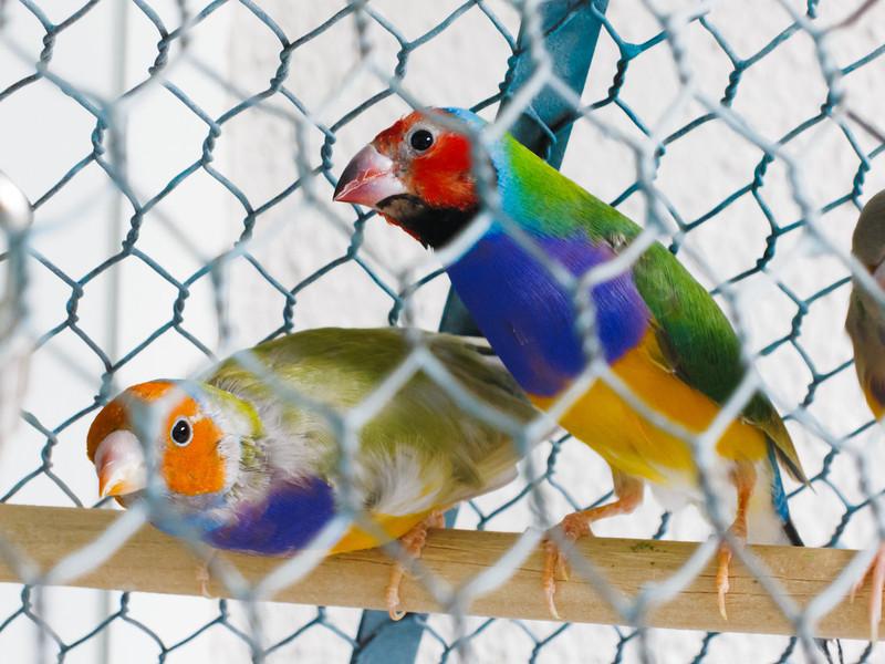 Nana's finches