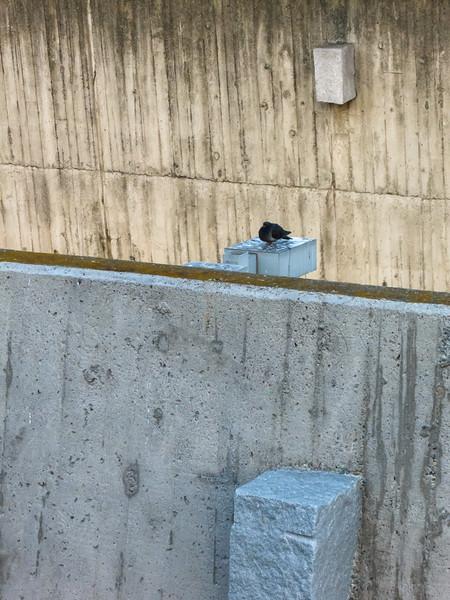 Pigeon I