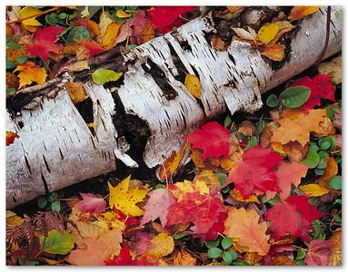 Birch Trunck