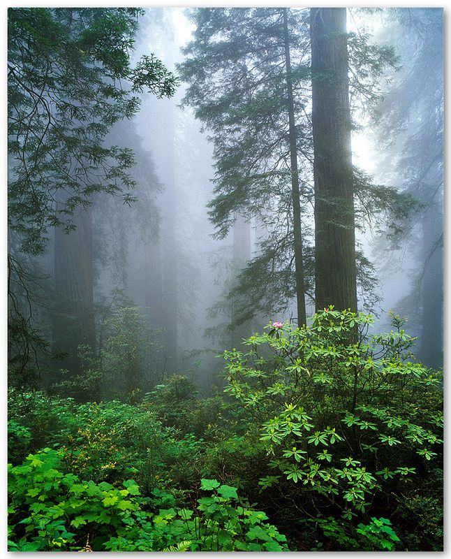 Foggy Redwoods