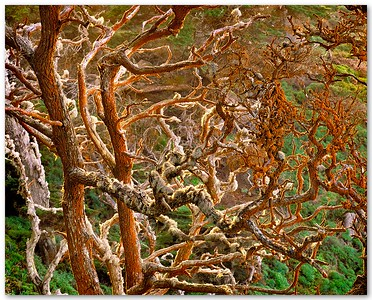 Carotene Covered Monterey Cypress