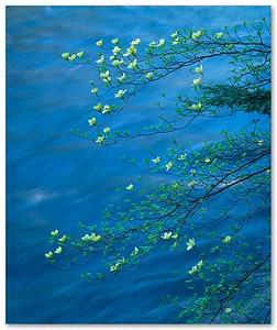 Flowering Dogwood over Merced River, Yosemite Valley