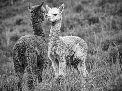 Title:  'Puppy Love' (Kissing Alpacas, Ecuador)