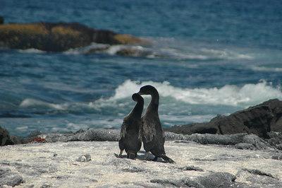 Flightless Cormorants (series 2 of 3)