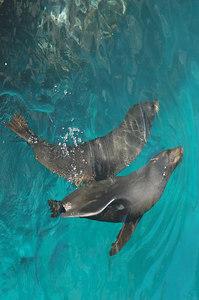Fur Seals in unison