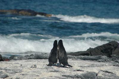 Flightless Cormorants (series 1 of 3)