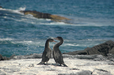 Flightless Cormorants (series 3 of 3)