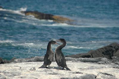 Flightless Cormorants (series 3 of 3)