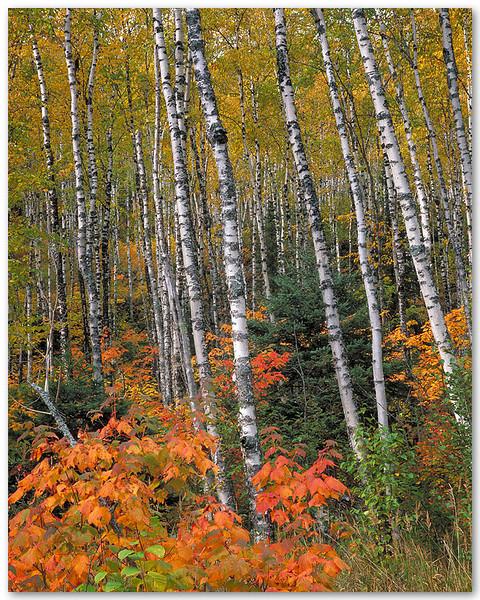 Northern Wood