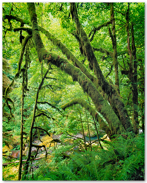 Moss Covered Temperate Forest