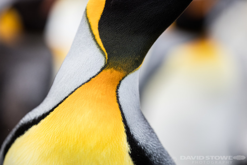 King Penguin-56347