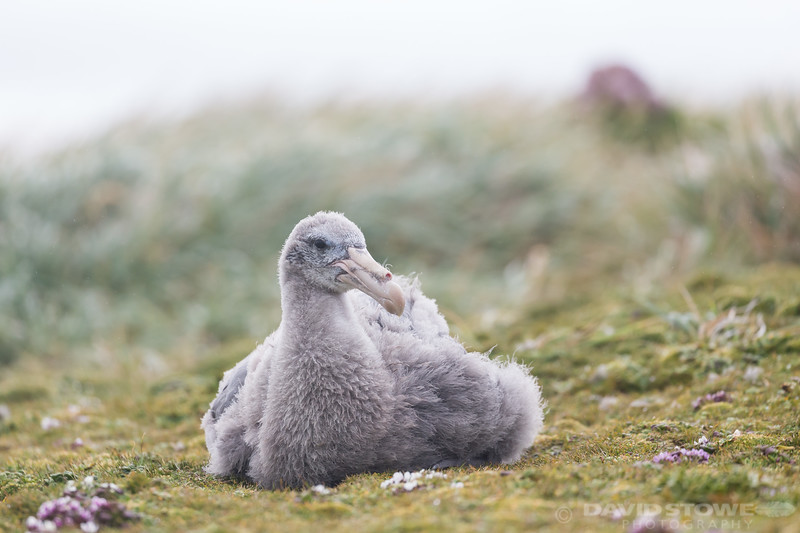 Giant Petrel chick-8812