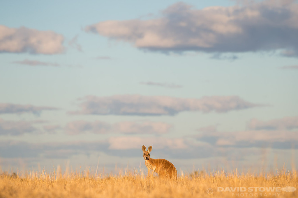 Red Kangaroo ©David Stowe-0405