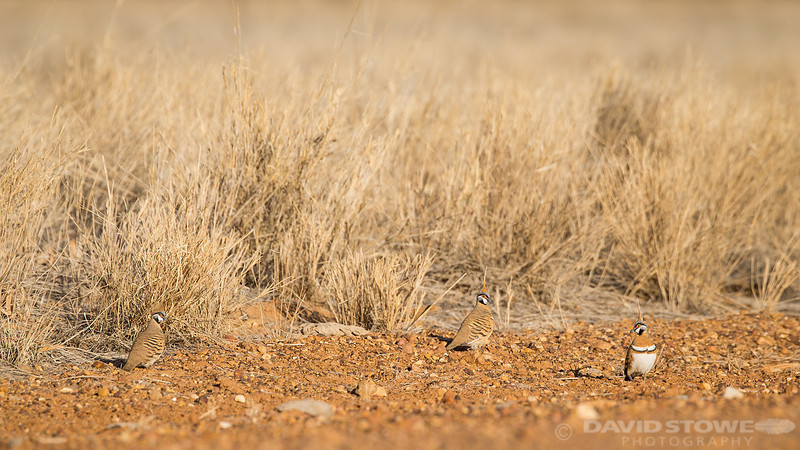 Spinifex Pigeon ©David Stowe-0316