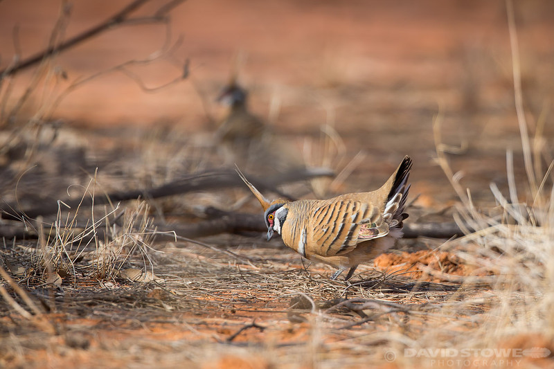 Spinifex Pigeon ©David Stowe-0061