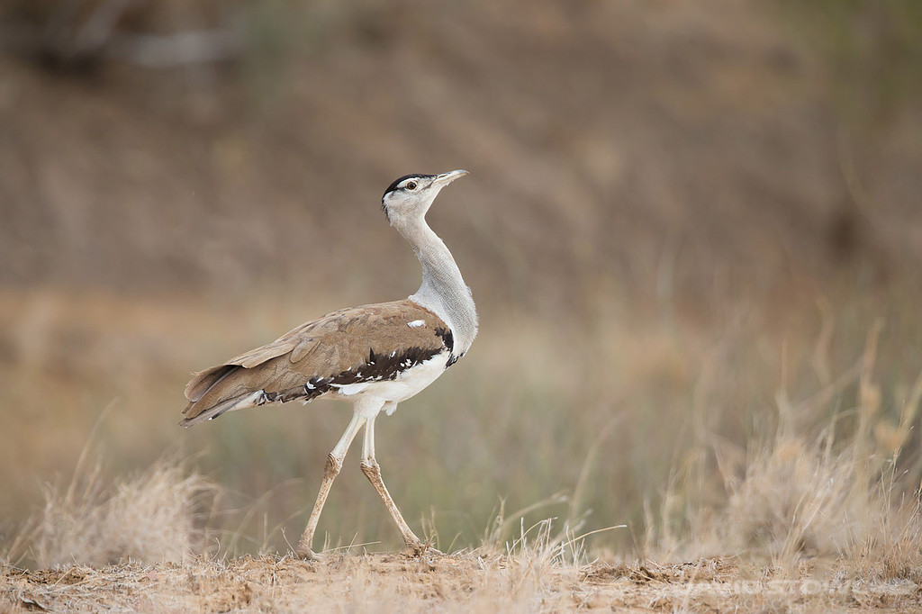 Austrlian Bustard ©David Stowe-1206