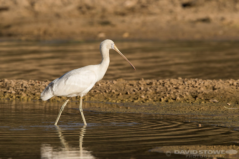 Yellow-billed Spoonbill ©David Stowe-0037