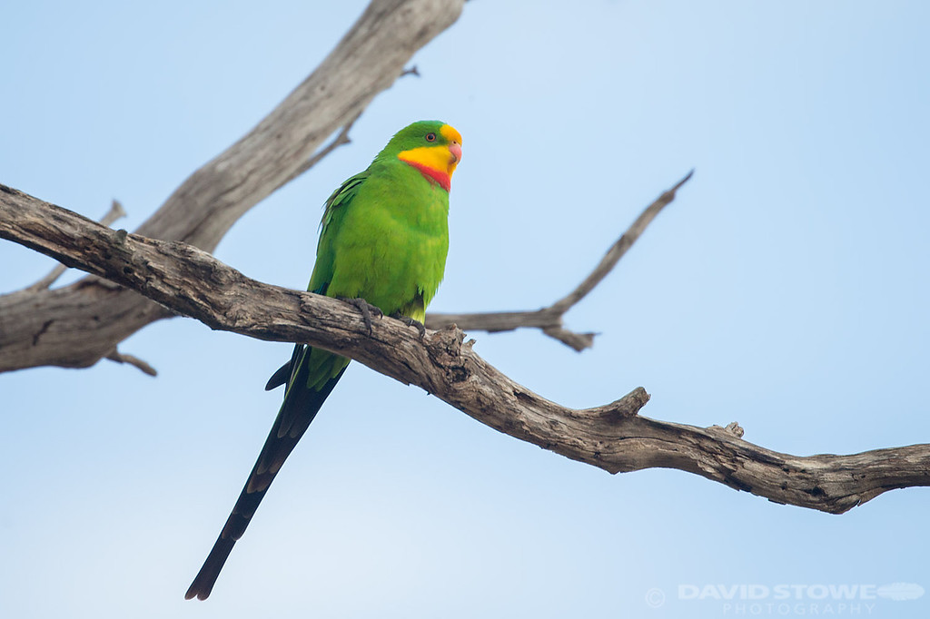 Superb Parrot ©David Stowe-9312