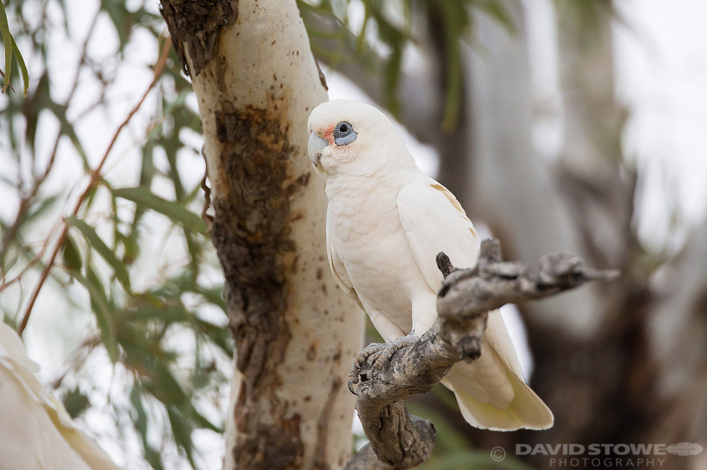Little Corella ©David Stowe-1171