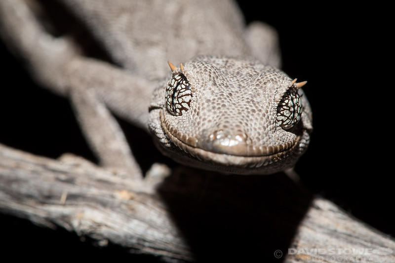 Gecko ©David Stowe-0221