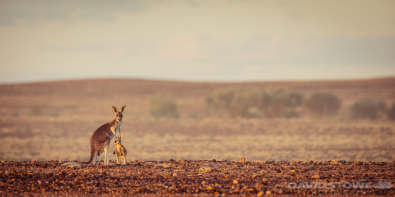 Red Kangaroo ©David Stowe-0480