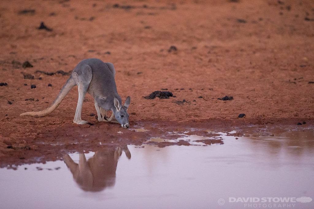 Red Kangaroo ©David Stowe-0167
