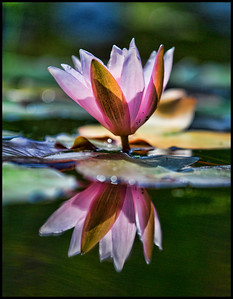 Lily reflected