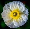 Poppy Awakening